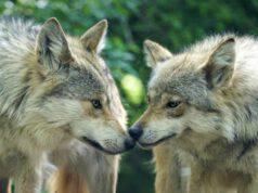 I lupi vicini (Foto Pixabay)