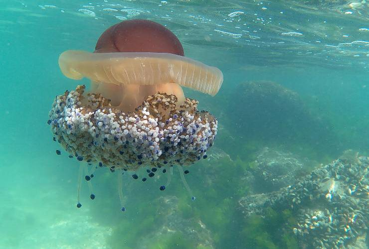 medusa cassiopea