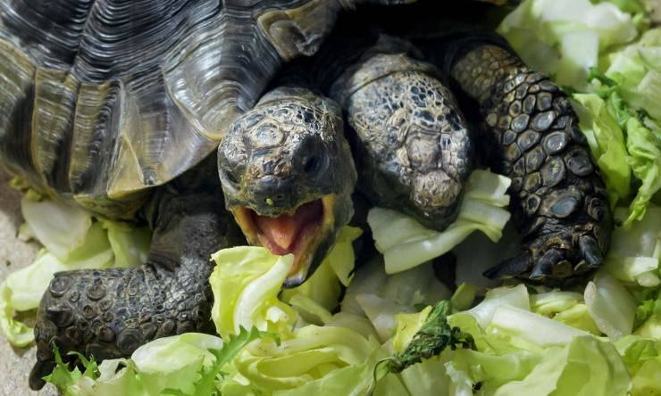 janus tartaruga due teste