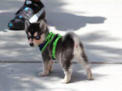 Un cucciolo di husky nano al guinzaglio