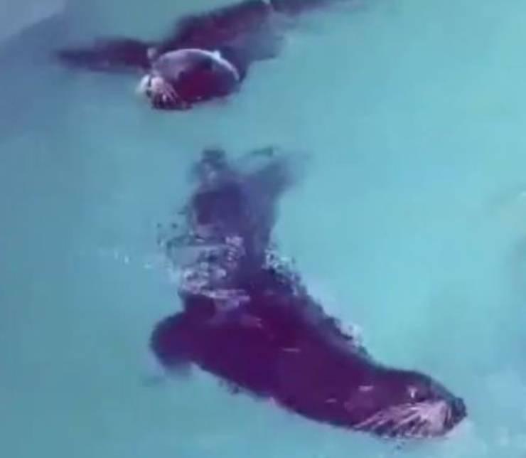 leoni marini corda belgio