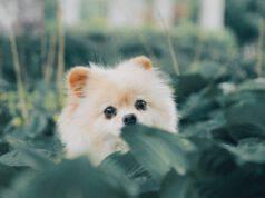 Le razze di cani che sembrano restare dei cuccioli anche da adulti