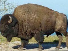 Il bisonte sull'isola (Foto Instagram)