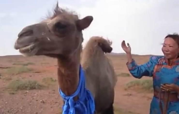 La padrona e il cammello ritrovato (Foto video)