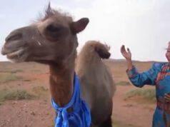 Il cammello fuggito via (Foto video)