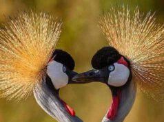 Gru coronata grigia (Foto Facebook)