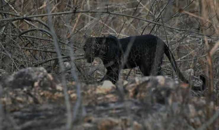 La pantera avvistata (Foto Instagram)