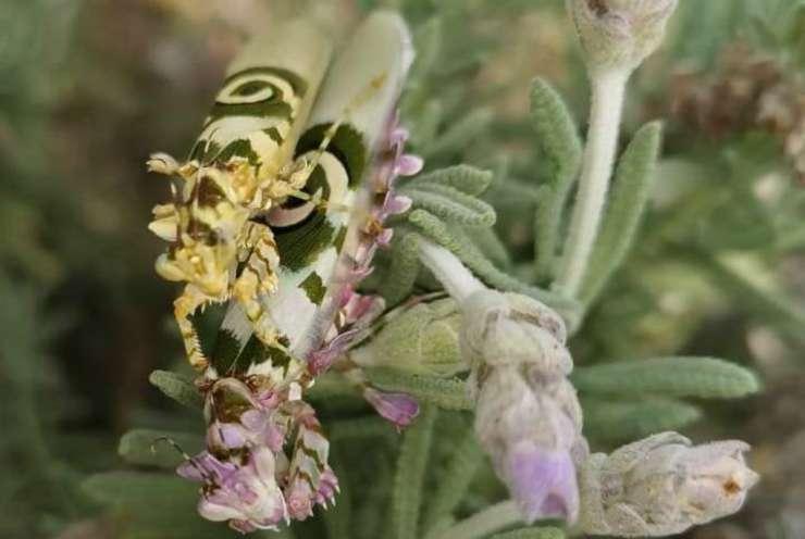 La mantide fiore (Foto Facebook)