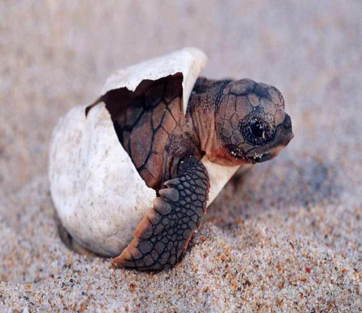 Tartarughe appena nate (foto Pixabay)