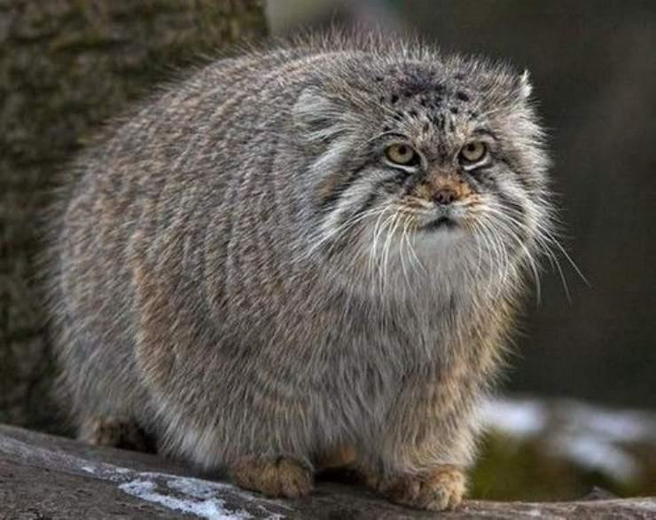 gatto di pallas