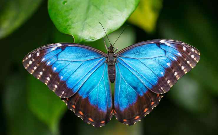 Farfalla morpho blu (Foto Adobestock)