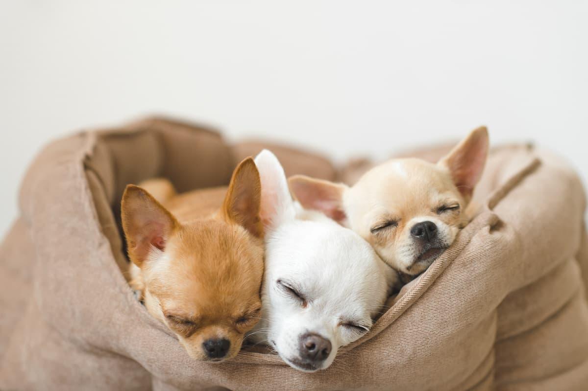 Come insegnare al cane a dormire nella cuccia (Foto Adobe Stock)