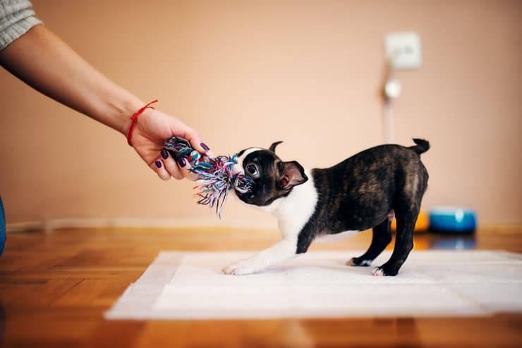 Cucciolo che gioca al tira e molla (Foto Adobe Stock)