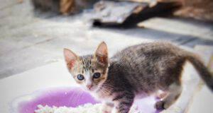 Il gatto può mangiare carboidrati? (Foto Adobe Stock))
