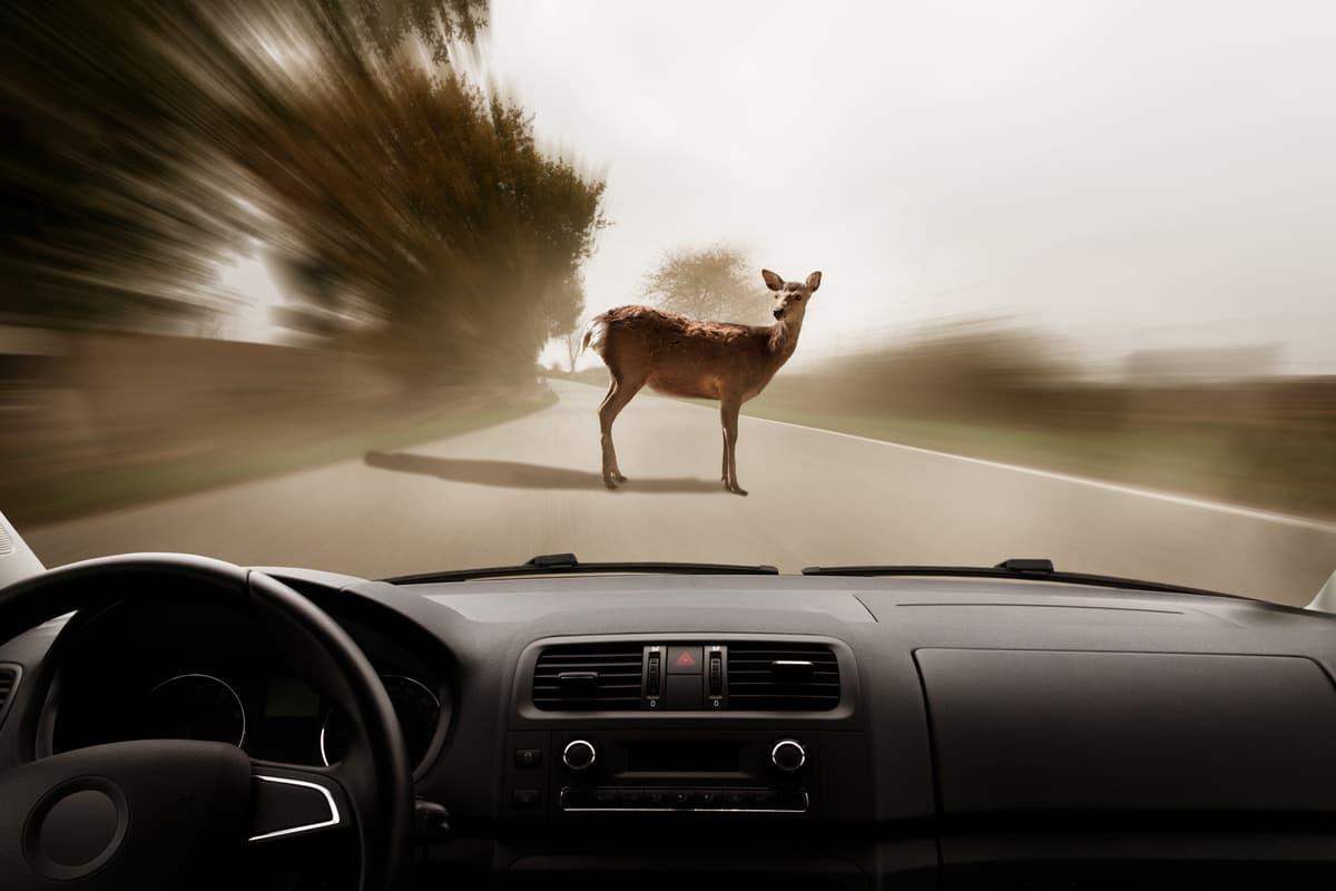 Risarcimento sinistro stradale causato da animale selvatico (Foto Adobe Stock)