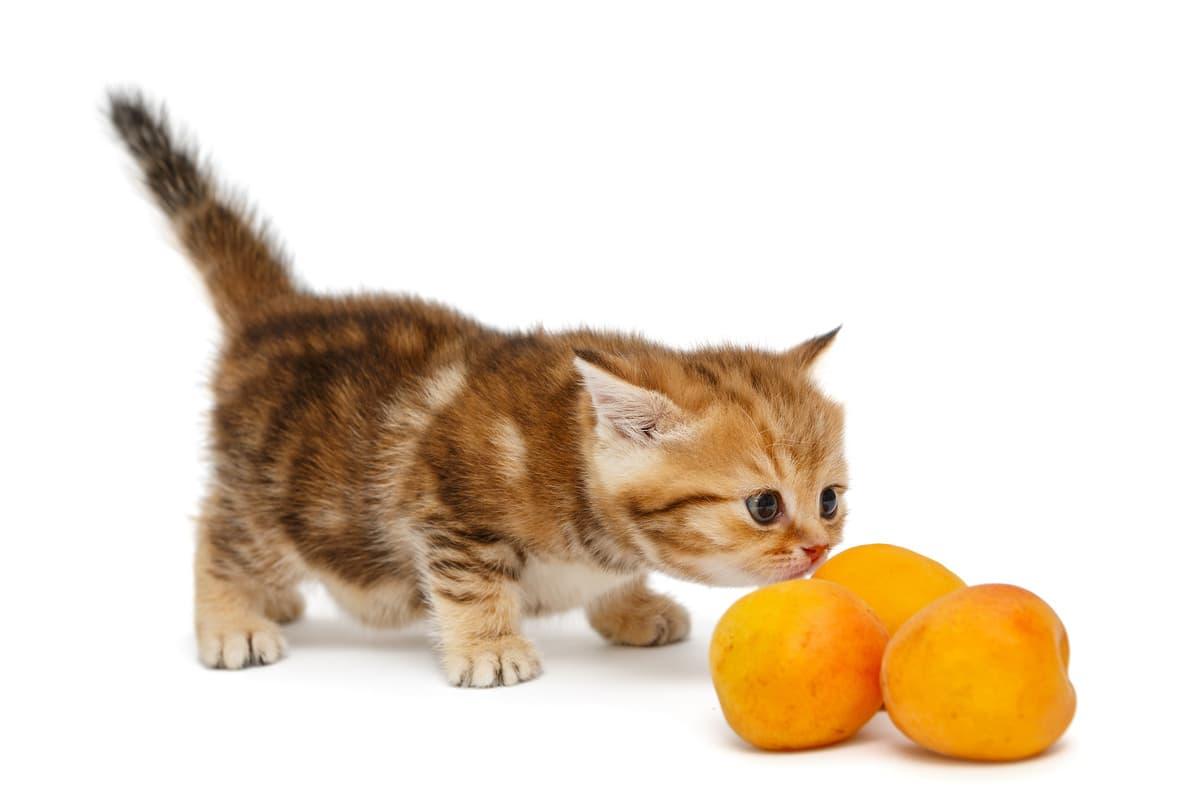 Il gatto può mangiare arance? (Foto Adobe Stock)