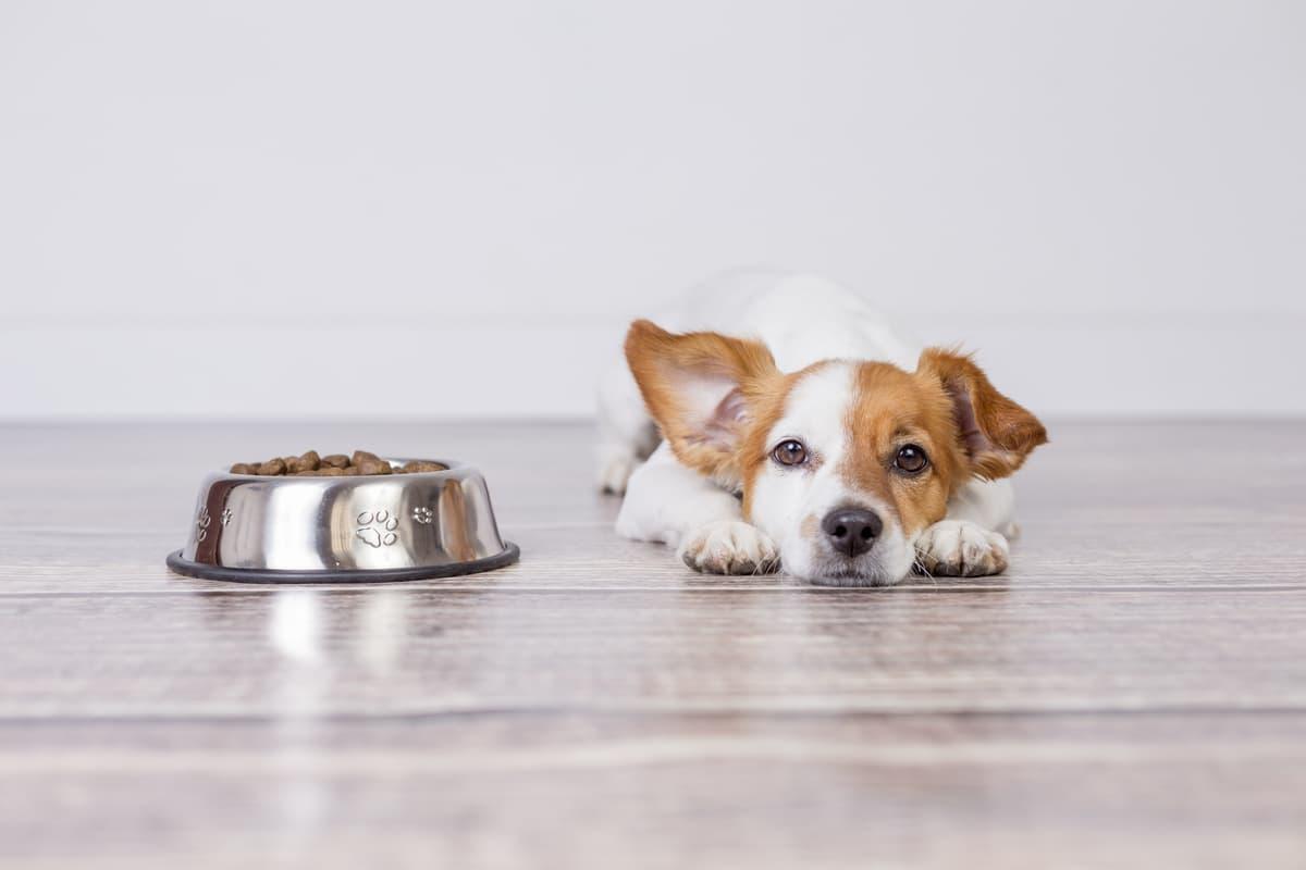 Il cane fa i capricci per mangiare (Foto Adobe Stock)