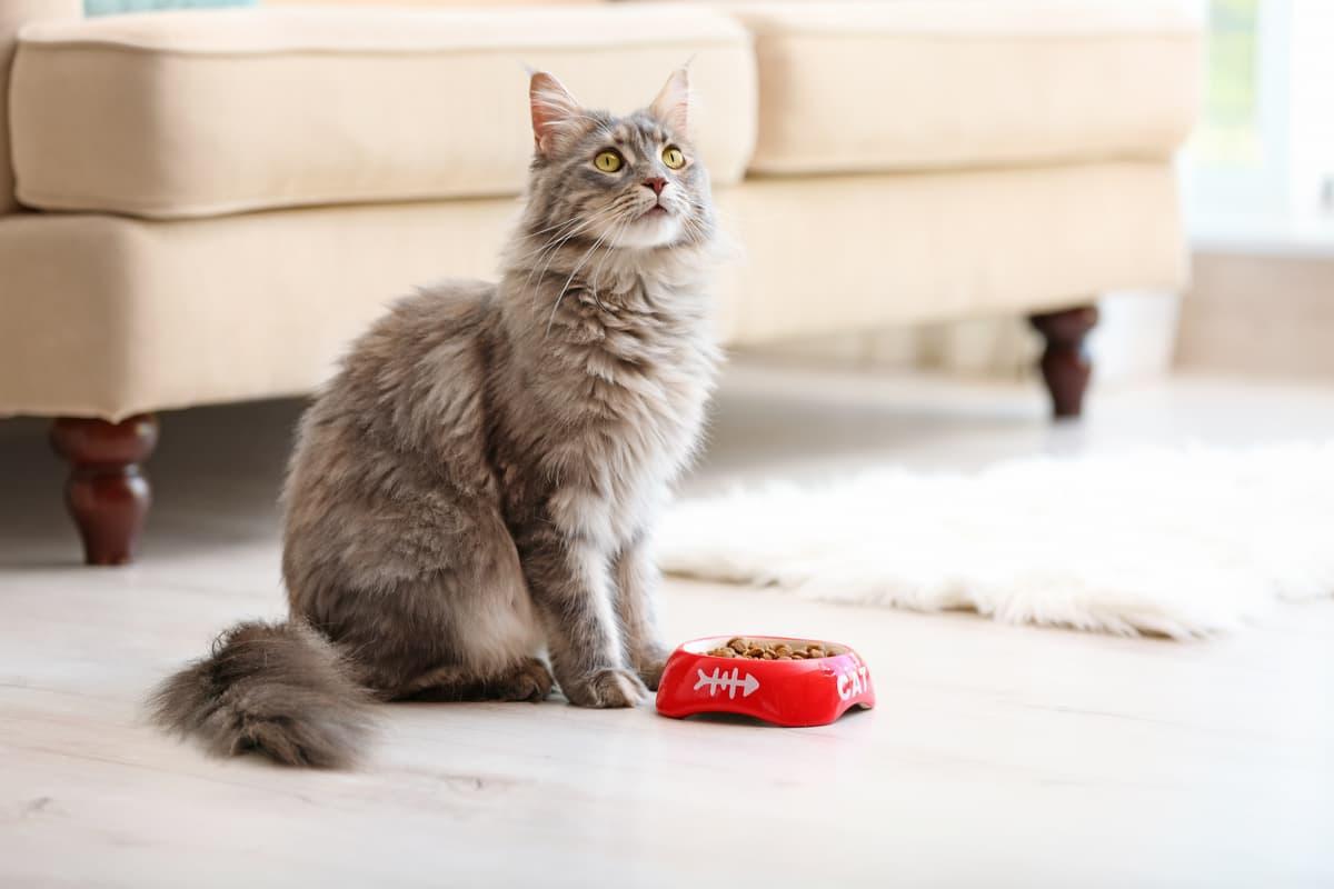 Il gatto fa i capricci per mangiare (Foto Adobe Stock)