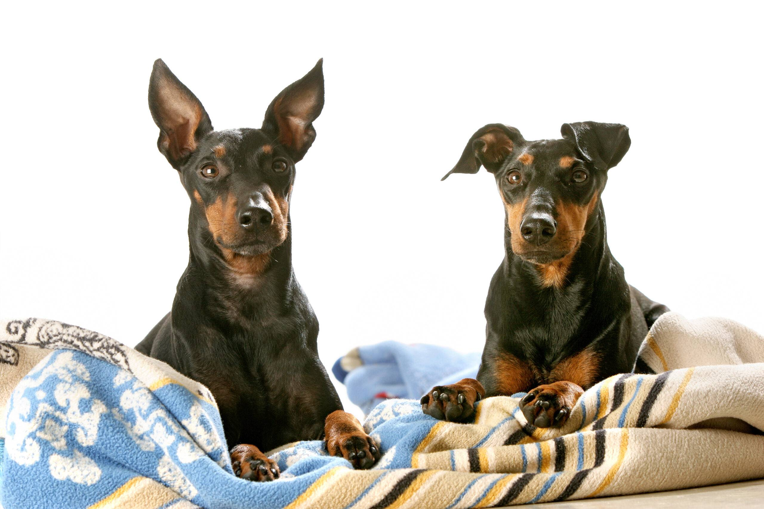 Manchester terrier adulto