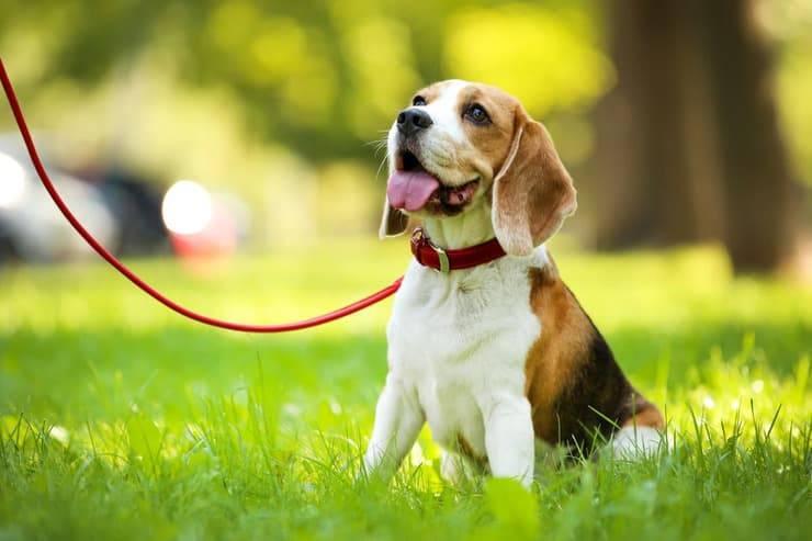 Obbligo guinzaglio per il cane sì o no? (Foto Adobe Stock)
