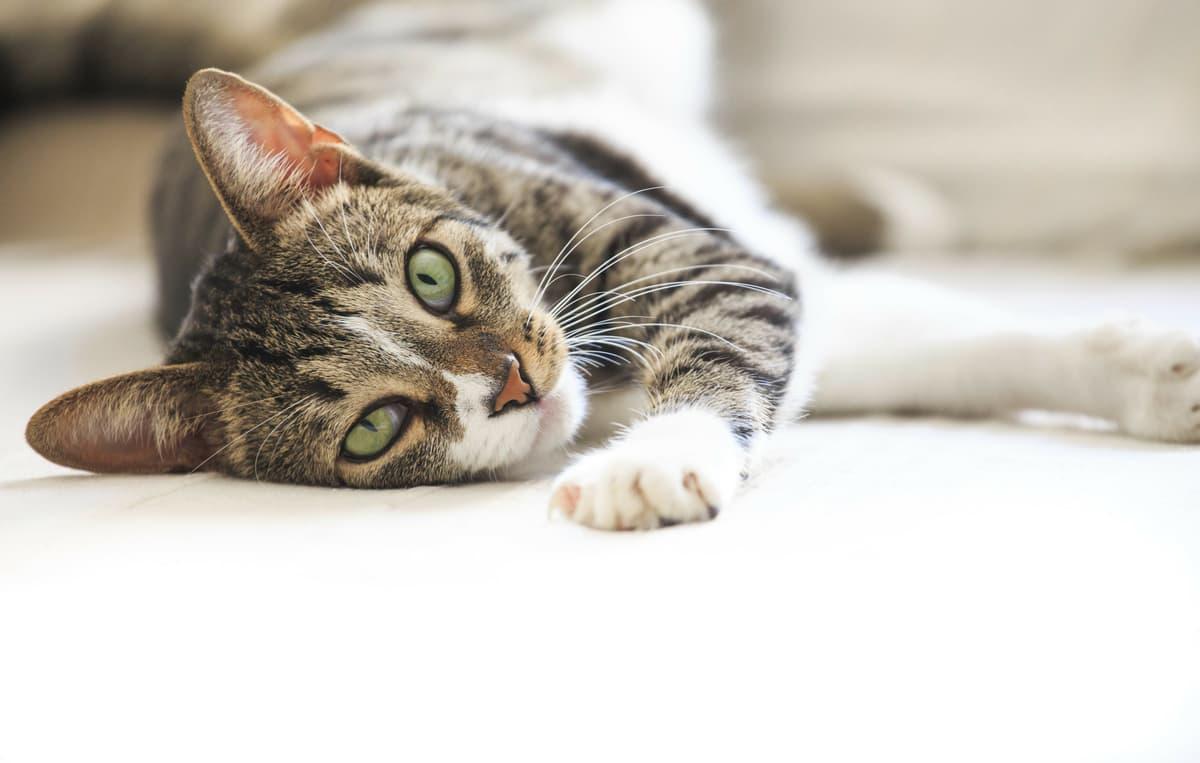 Come far rilassare il gatto (Foto Adobe Stock)