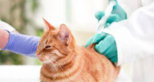 Iperglicemia nel gatto (Foto Adobe Stock)