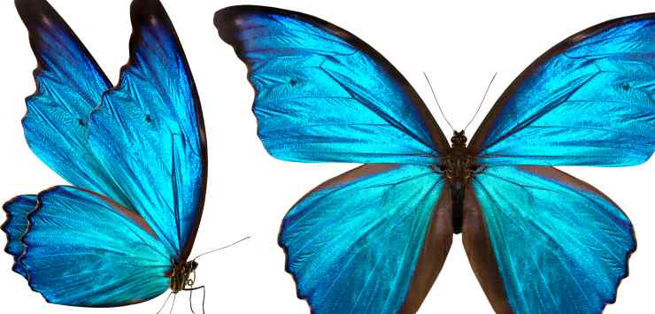 Farfalle blu (Foto Adobestock)