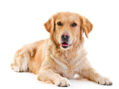 Embolia fibrocartilagenea del cane (Foto Adobe Stock)