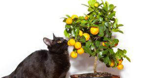 Avvelenamento da limone nel gatto (Foto Adobe Stock)
