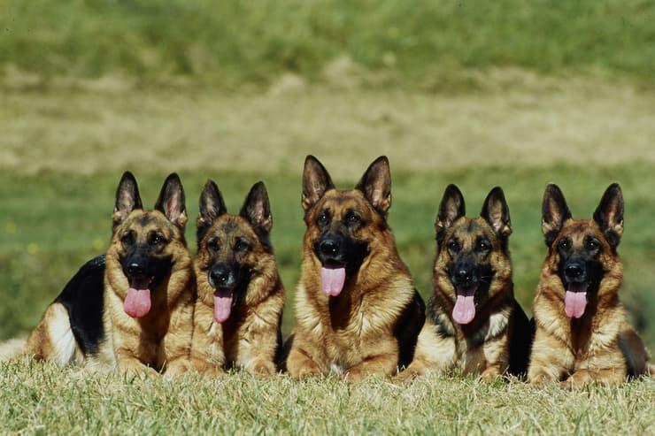 Allevamento cani (Foto Adobe Stock)