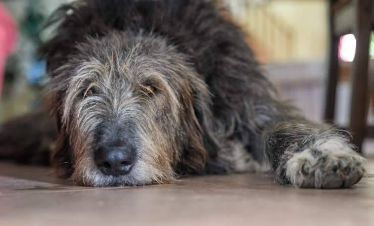 Cardiomiopatia dilatativa nel cane