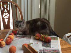 Il gatto può mangiare la pesca?