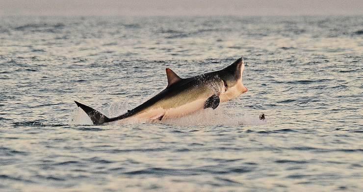 squalo bianco lampedusa