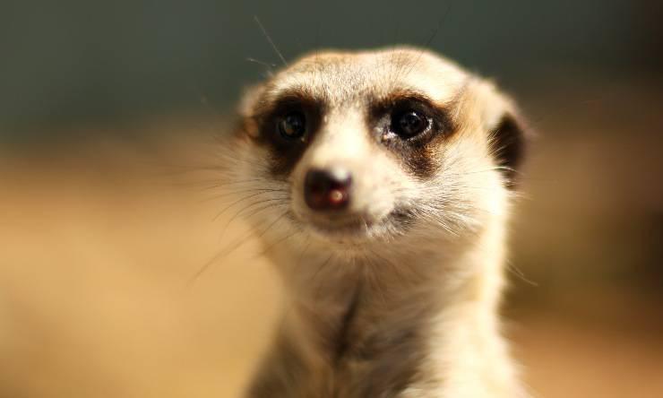 roma suricato
