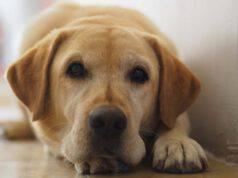 malattie comuni nel labrador