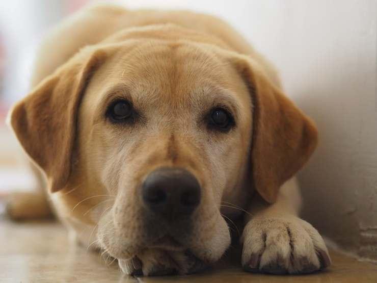 razze cani compatibili amstaff