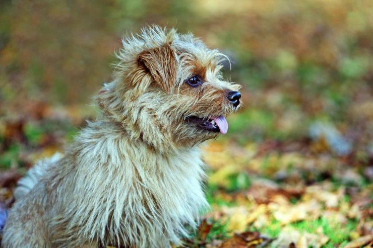 Norfolk terrier cucciolo