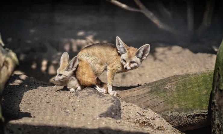 gruppo di volpi fennec