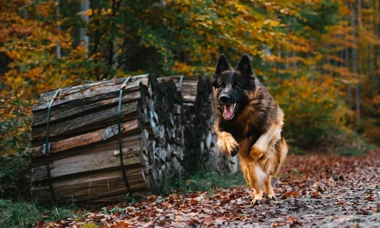 cane in fuga