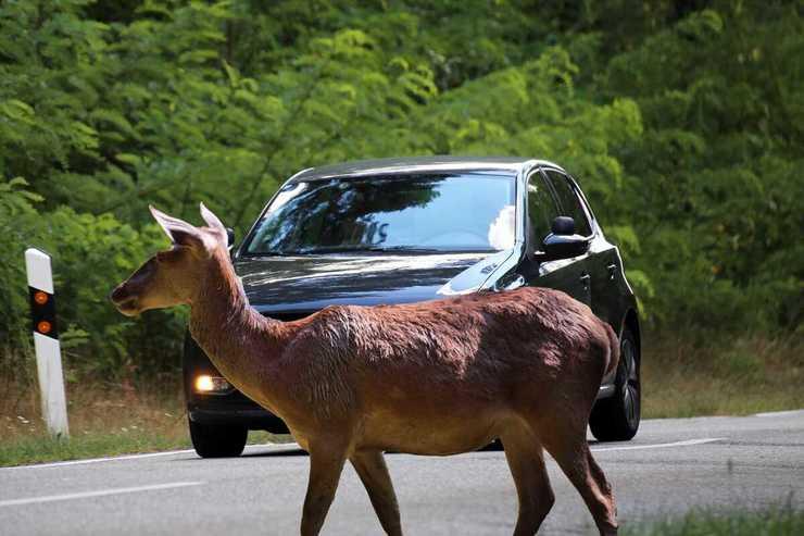 Cosa rischia chi investe un animale selvatico e scappa? (Foto Adobe Stock)