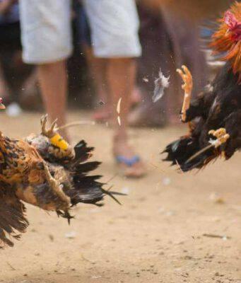 Divieto di combattimento tra animali (Foto Adobe Stock)