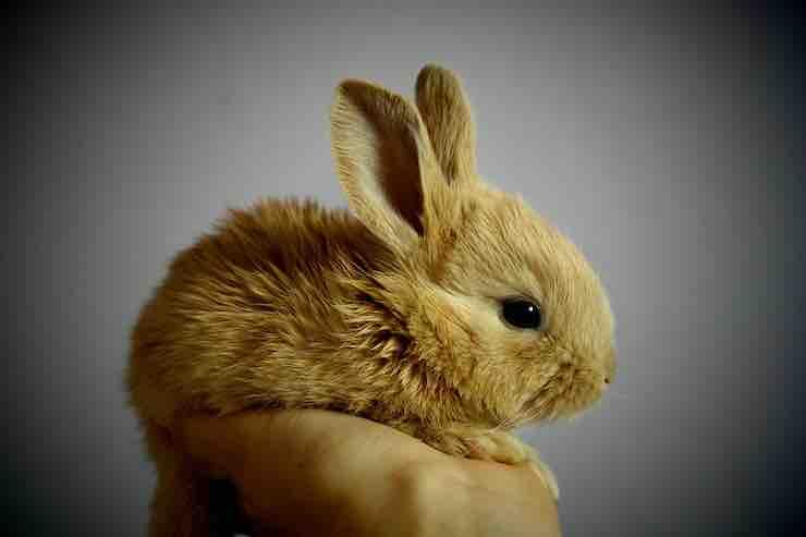 avvelenamento coniglio