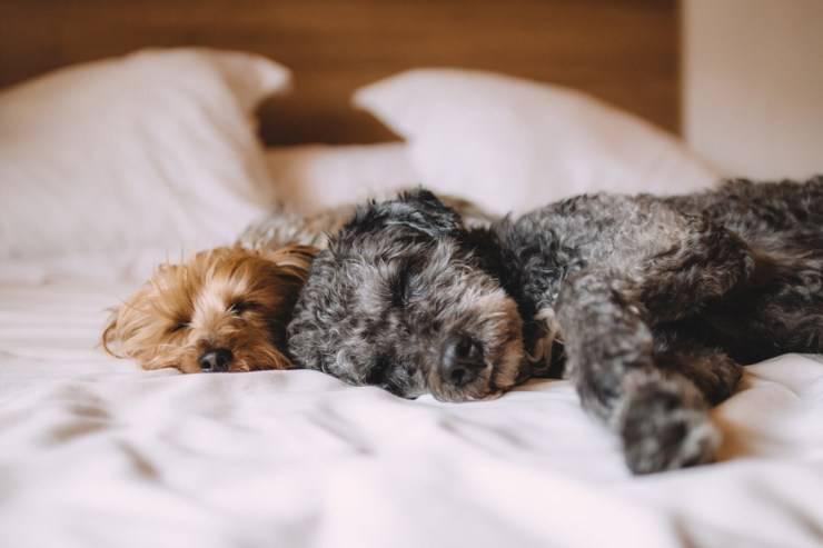 cane dorme in letto