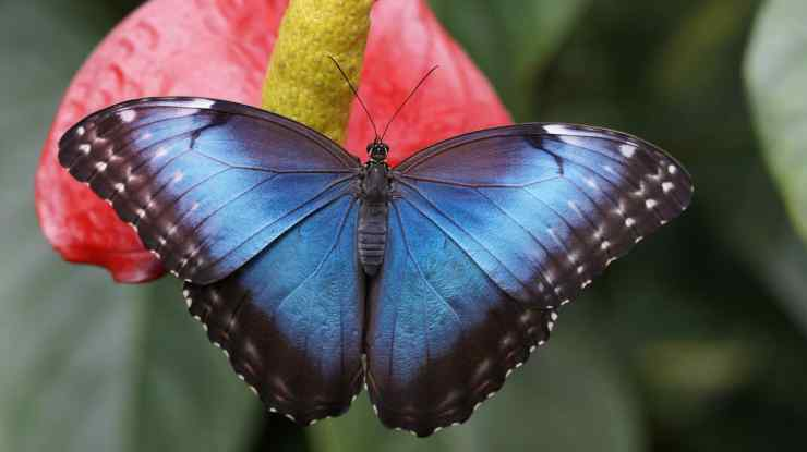 Farfalla blu sul fiore (Foto pixabay)