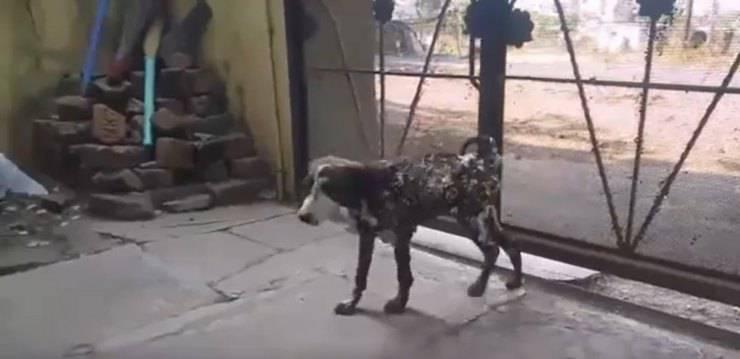 champi cane coperto catrame