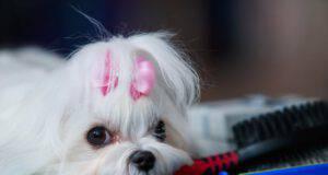 Il calore del cane femmina, la prima volta, le fasi del calore e la durata
