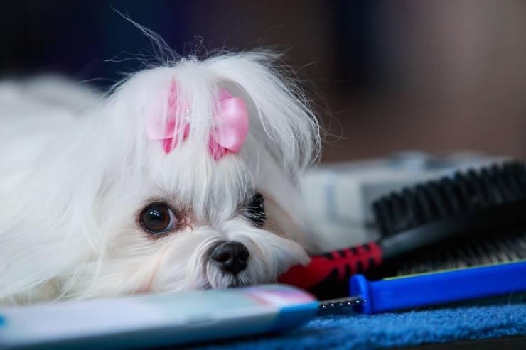 Il calore del cane femmina, la prima volta, le fasi del calore e la durata.