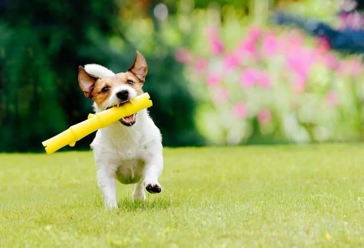 Come insegnare il riporto al cane (Foto Adobe Stock)
