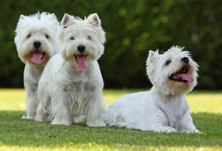 Come diventare allevatore di cani (Foto Adobe Stock)