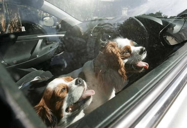 Cani in macchina
